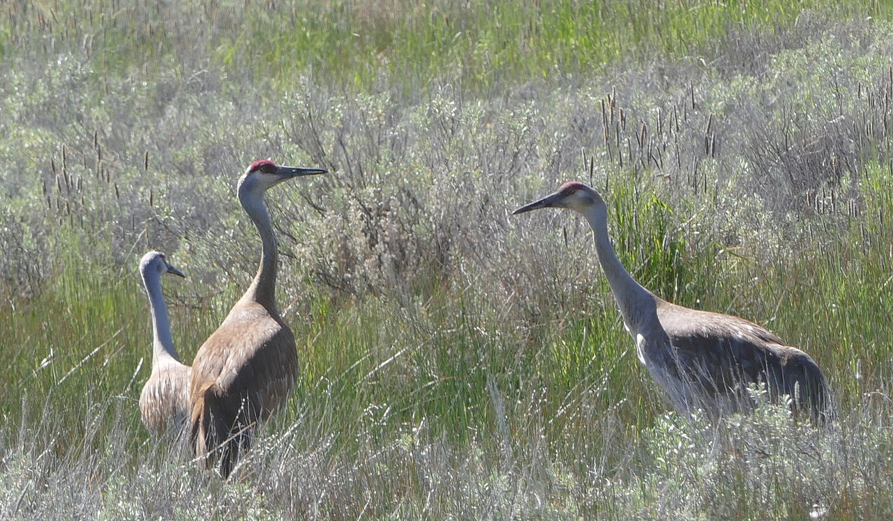 We headed toward Calpine and saw a group of sandhill cranes along Westside Road.