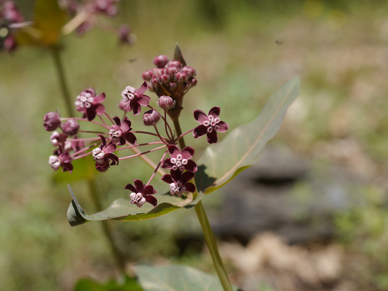 And then we saw this purple milkweed up the slope from the trail.