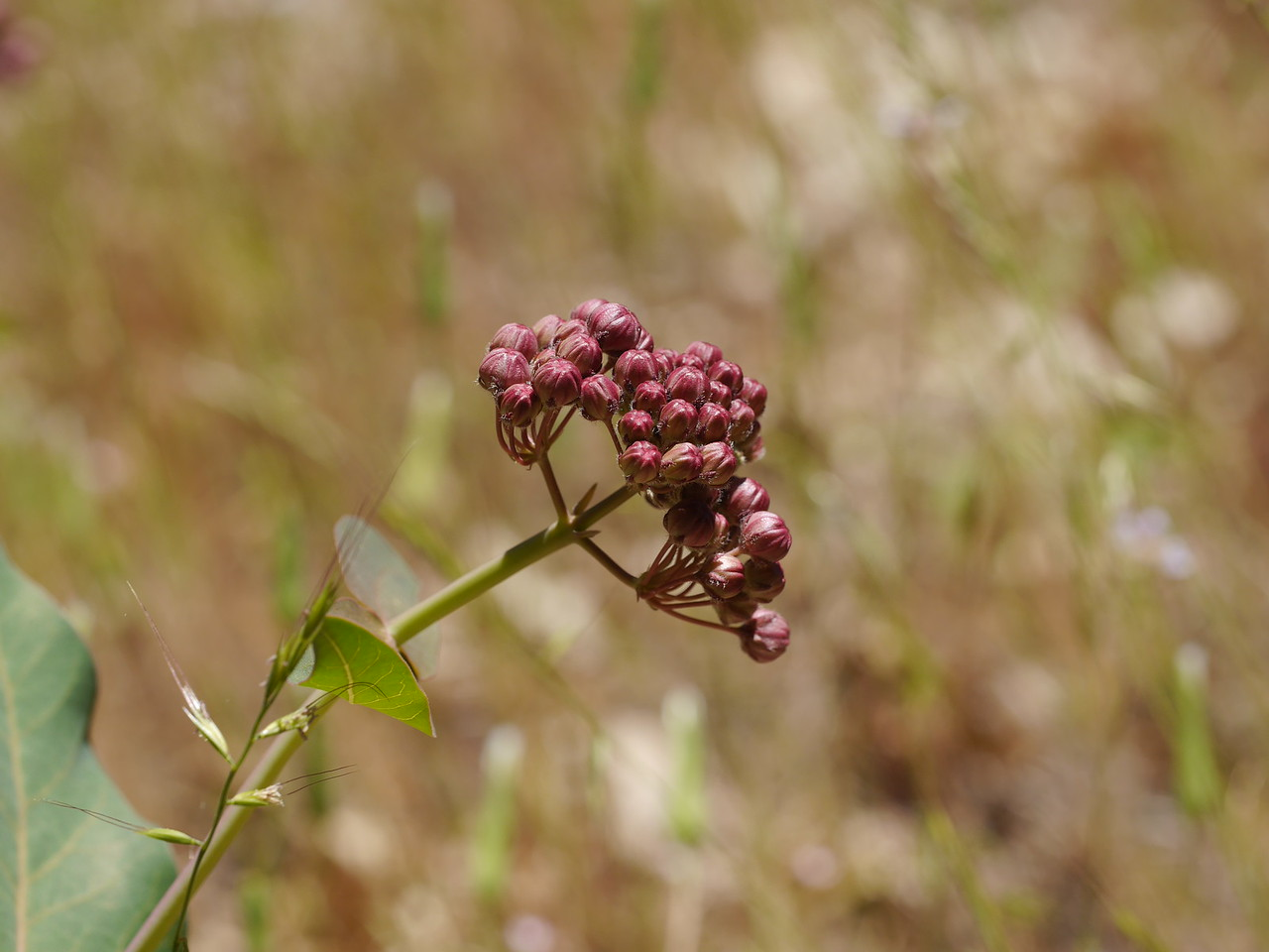 Milkweed buds.  Time for us to move on to Butterfly Valley.