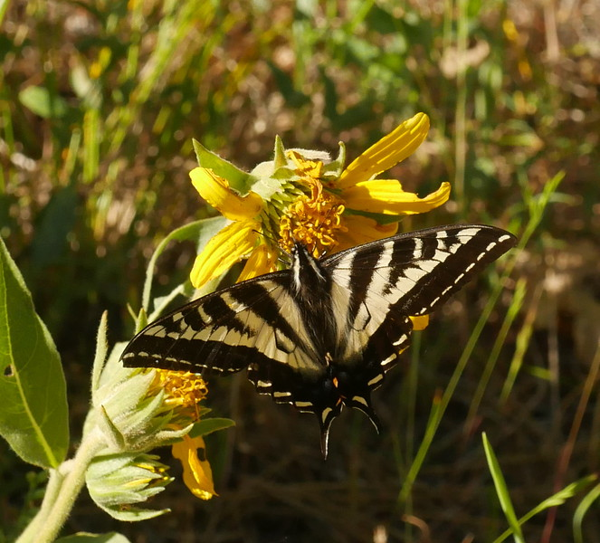 A large swallowtail butterfly was cruising around 20 feet away from the iris.  Perhaps a pale swallowtail (Pqapilio eurymedon)?
