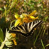 Butterfly_P1110914