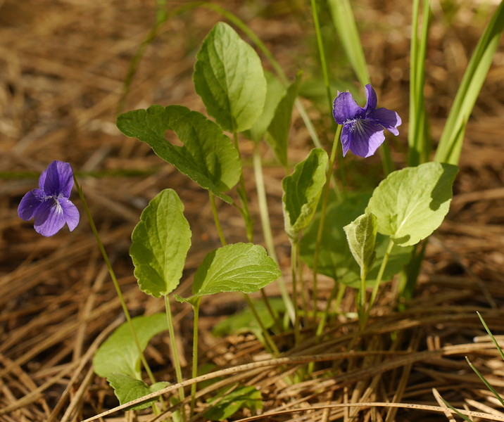 The violets were never in large groups but they were spread over quite an area.