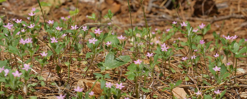 This patch of collomia was growing in a flat area with some sun by the side of the road.