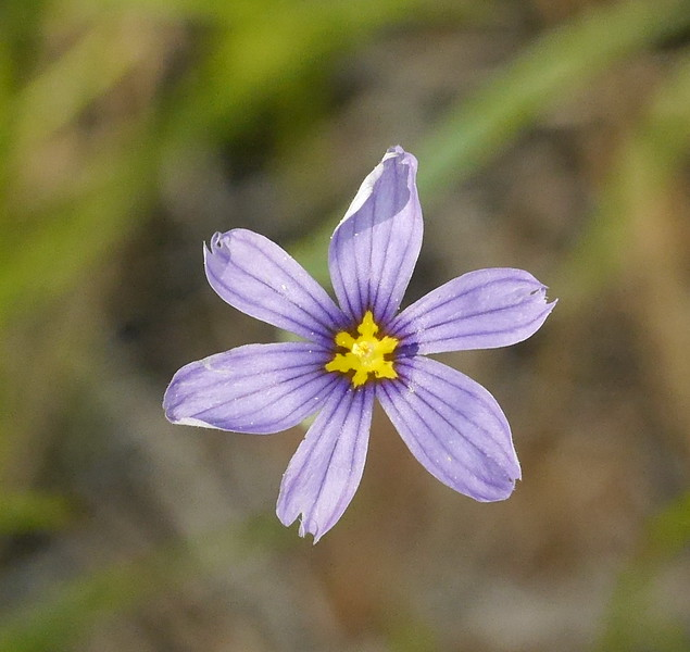 A blue eyed grass flower sharing the slope with the mariposas.