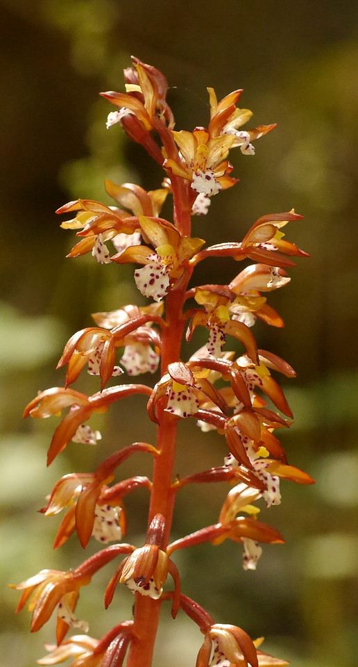 This parasitic plant is a discovery for us.