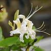 Western azalea_Rhododendron occidentale_P1270509_EDIT