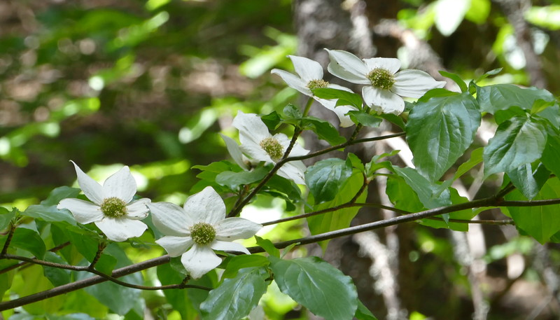 I wasn't expecting to see dogwoods.  A new species for us I think.