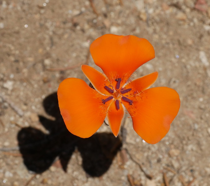 A different  shape as the petals flattened.  The flower's shadow reminded me of a bird flying.