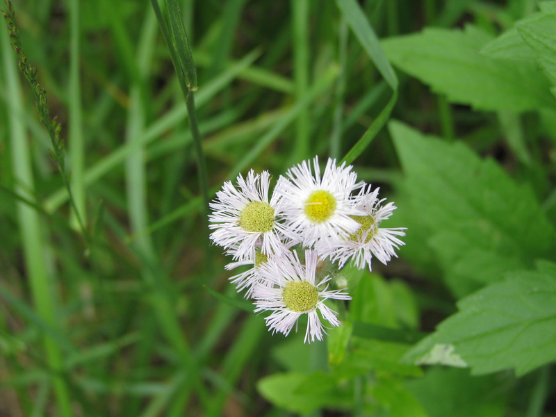 A few of these white daisy like flowers were along the creek.