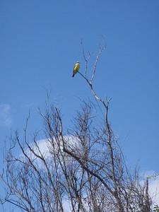 Flycatcher, Princess Resort, Playa del Carmen