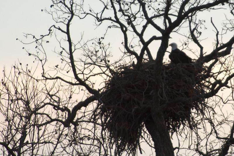 Bald Eagles on the Llano River