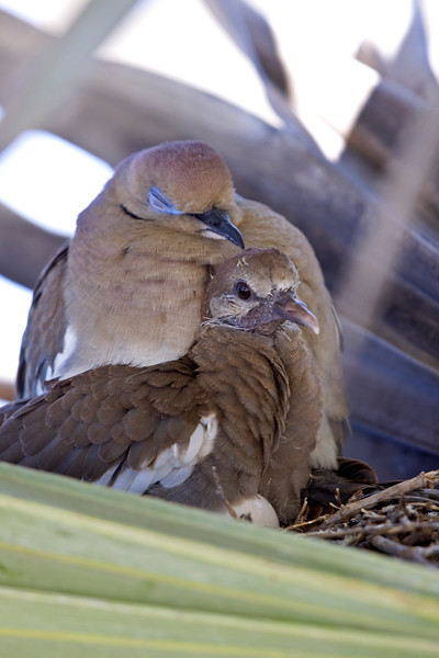 Mother and baby white-winged dove in the palm fronds right at shoulder level