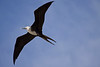 Thank you for the I.D., Liz!  A juvenile Magnificent Frigatebird.  Cool!  They were soaring around everywhere, really fun to watch.