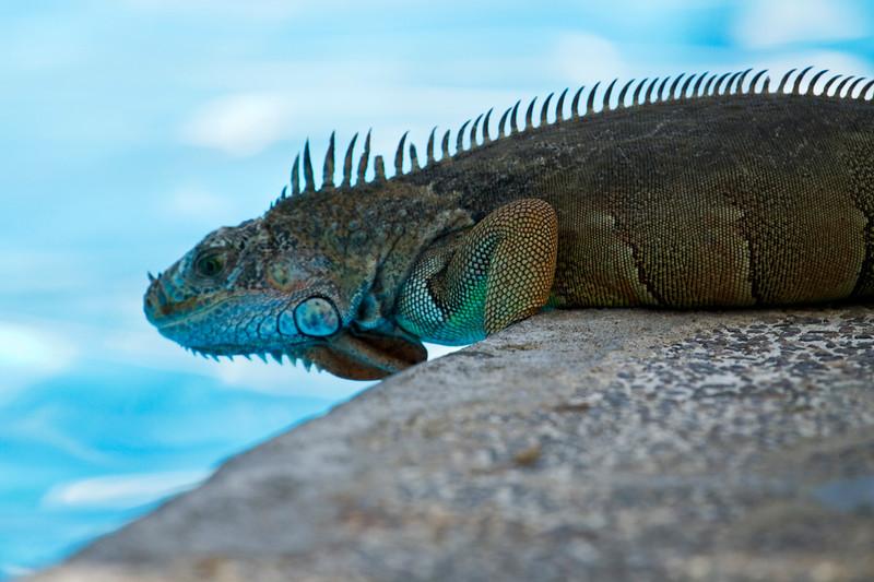 Iguana by the pool