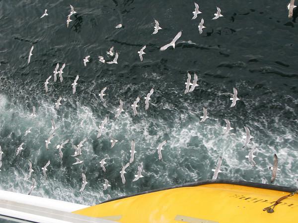 Seaguls chasing our ship entering Malta.