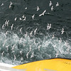 Seaguls chasing our ship entering Malta.