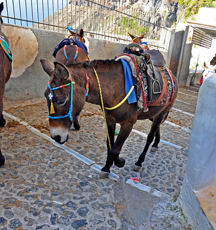 As I walk down, some mules walk up, while some are tethered. Santorini, Greece
