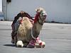 Camel in La Goulette, Tunisia