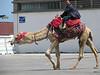 Camel rides in La Goulette, Tunisia