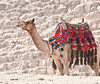 A camel ready to take somebody for a ride