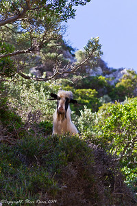 Mountain goat in Crete
