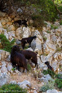 Mountain goats in Crete