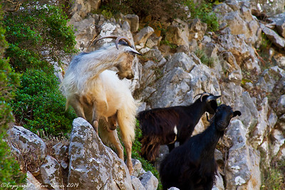 "White Goat: ""You think the guy with the camera eats mutton?""  Black Goat:  ""I think he eats anything"""
