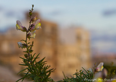 A wildflower growing out of a fortress wall on Malta.
