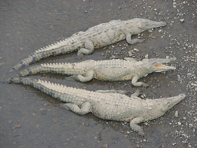 Three's a Crowd, American Crocodiles -- Tarcoles, CR.  This was one of my favorite scenes during our trip.  The great crocs were placed symetrically on the river bank vying for position.