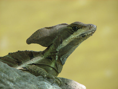 JC Lizard, Jaco, CR
