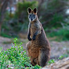 A Wallaby. Battery Hill. Port Fairy