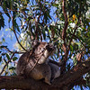 Koalas. The Great Ocean Road