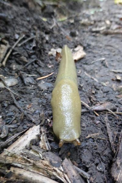This slug was about 7 inches long. ewww!
