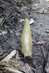 This slug was about 7 inches long. ewww!