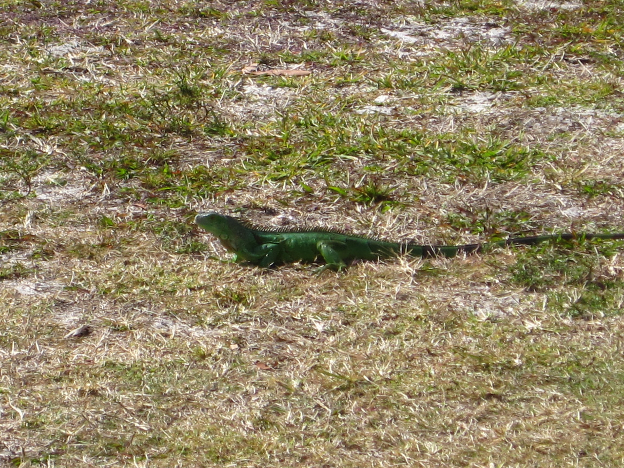 Local visitor common to Key Biscayne