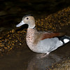 Ringed Teal Duck at the Embassy Suite in Memphis , TN