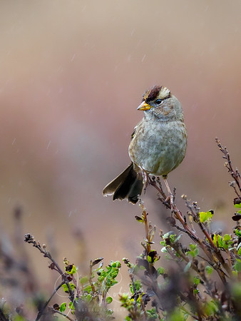 Golden-crowned Sparrow in the rain