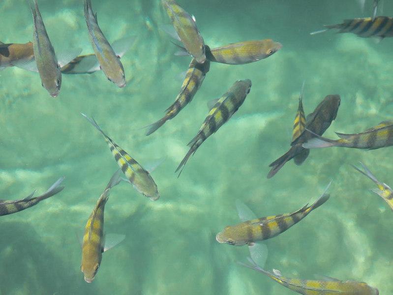 Tropical fish, Laguna Yal-Ku, Akumal, Quintina Roo, Mexico