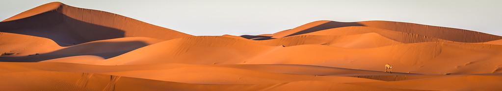 Sahara Panorama & Camel :-)