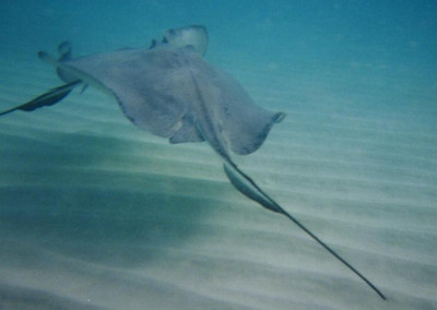 Cayman Islands - Stingray