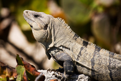 Iguana at Playa Delfines, Cancun, Mexico.