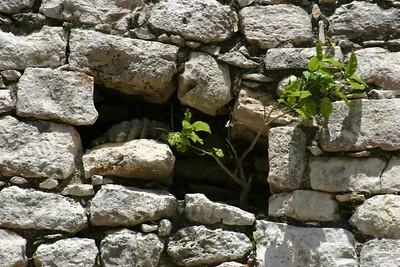 Iguana hiding, Chichen Itza