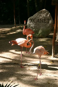 Flamingos at the entrance to Xcaret