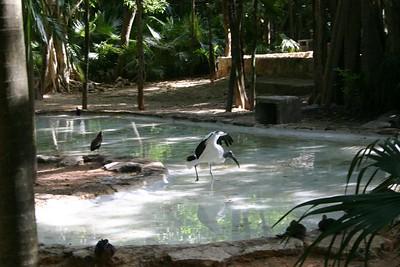 American stork