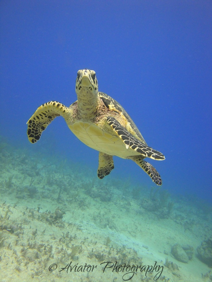 Green Sea Turtle, amazingly agile and graceful underwater.<br /> <br /> Photos courtesy of Gaby from Scuba Aquatic.