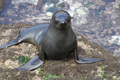 Guadelupe fur seal / Guadelupe zeebeer