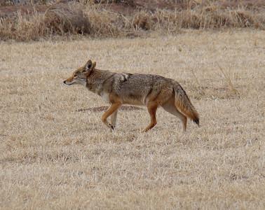 Coyote stalking sandhill cranes.