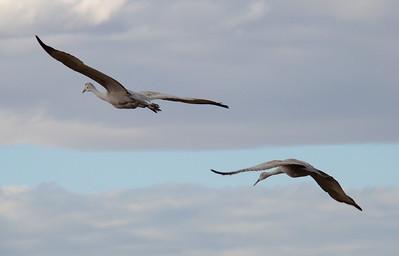 Sandhill Cranes in Albuquerque