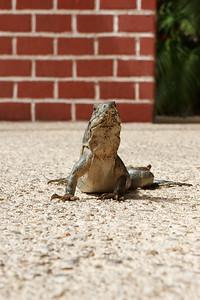 Iguana (Crop)