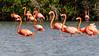 American Flamingos on Laguna Guanaroca, Cuba